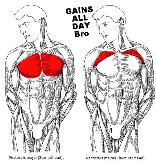 chest bro