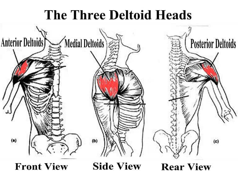 parts of the deltoid
