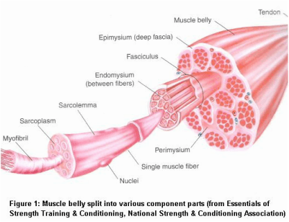 how muscles are built